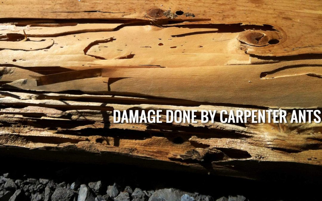 Damage done by carpenter ants